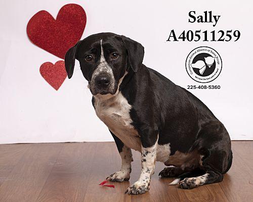 Baton Rouge La Basset Hound Meet Sally A Pet For Adoption With Images Basset Hound Pet Adoption Basset