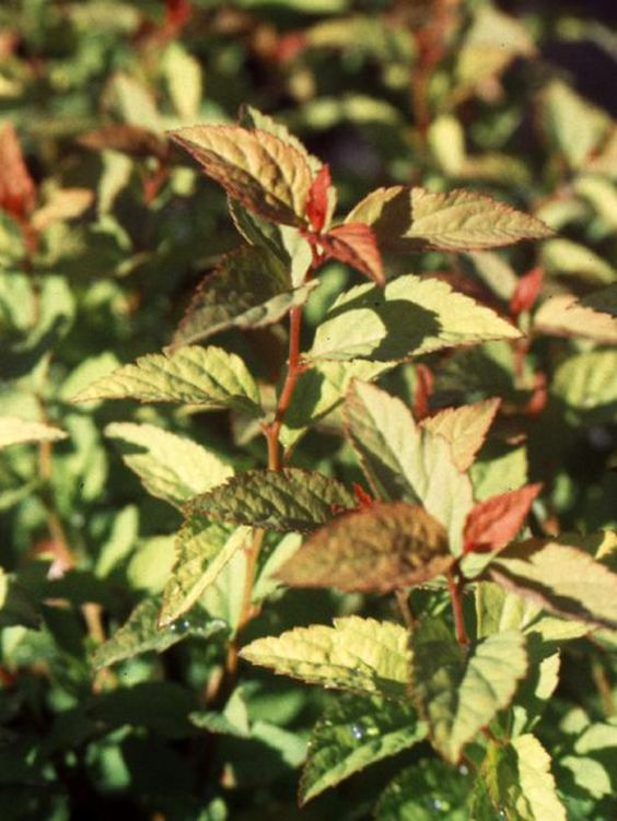 17 low maintenance plants and dwarf shrubs shrubs sun for Low maintenance partial sun plants