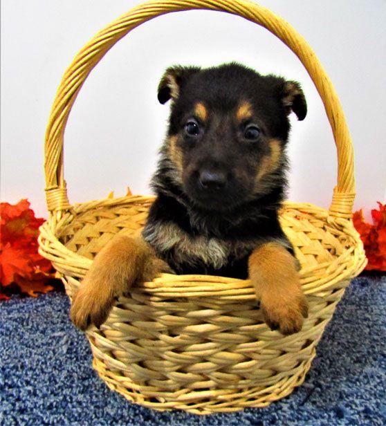 Breed German Shepherd Gender Male Registry Akc Personality Fun Loving Date Available Feb 27 2020 In 2020 Puppy Adoption Puppy Finder Cute German Shepherd Puppies