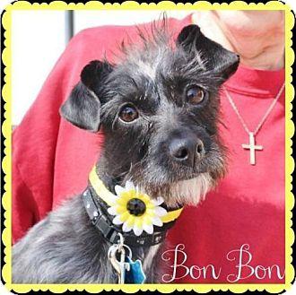 Arlington Tx Standard Schnauzer Terrier Unknown Type Medium Mix Meet Bon Bon A Dog For Adoption Dog Adoption Kitten Adoption Yorkie Yorkshire Terrier