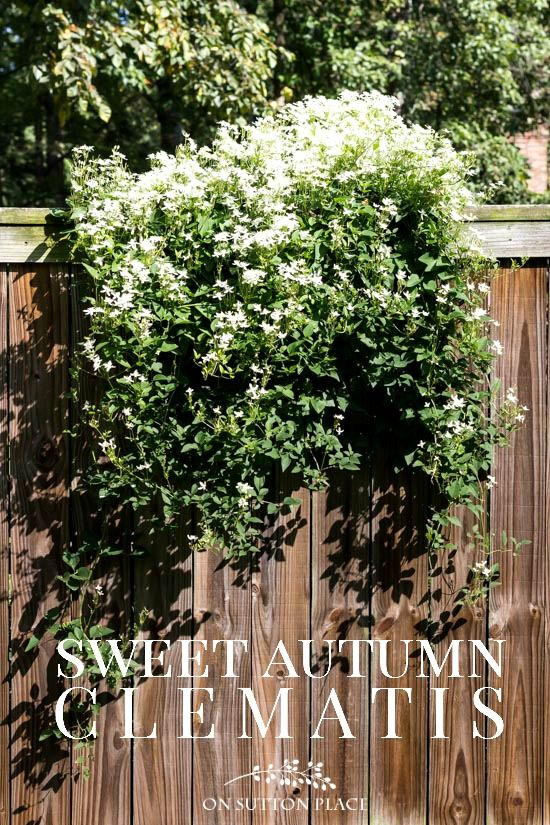 Sweet Autumn Clematis: tips for growing and supporting this fall blooming clematis. Also includes easy to understand information on pruning. #gardens #gardenideas #gardening #fall