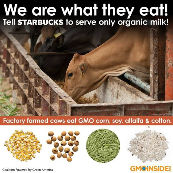 What the Starbucks? Cows living in concentrated animal feeding operations (CAFOs) are fed a grain diet comprised almost entirely of GMO corn, soy, alfalfa, and cottonseed. Tell Starbucks to serve organic milk