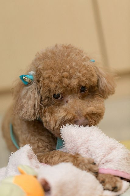 Is Your Poodle Driving You Crazy Dog Secrets The Fastest Way To Your Dream Poodle Poodle Poodle Dog Doglovers Crazy Dog Poodle Dog Training Obedience