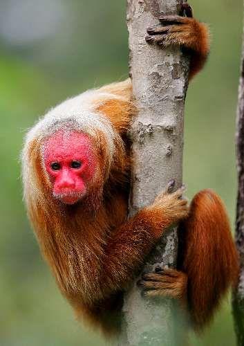 Macaco Uacari vermelho, na floresta do Instituto Floresta Viva, no Amazonas