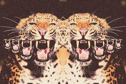 animals, leopards
