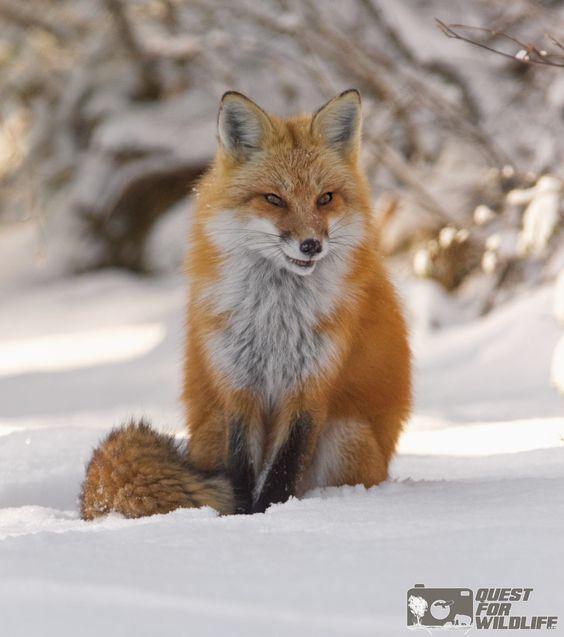 Red Fox by Stuart Clark
