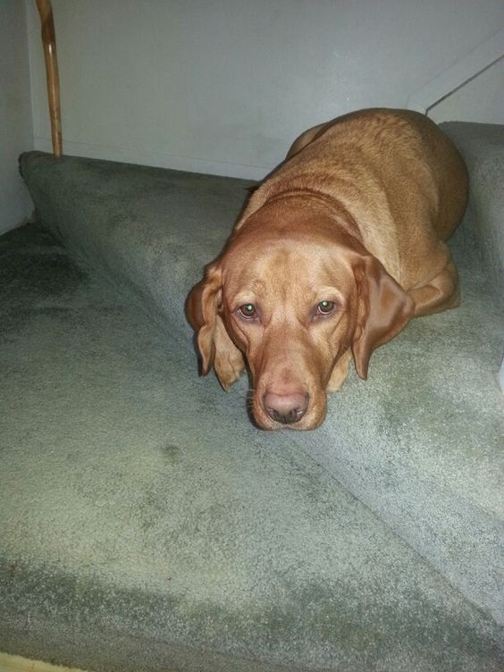 Abby my red lab looks like she's in trouble