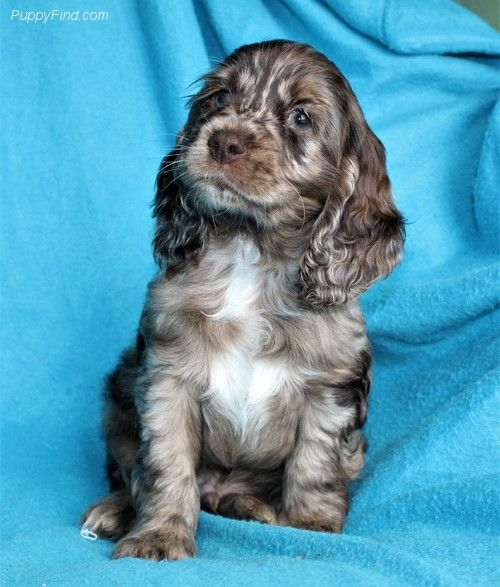 Merle Chocolate Cocker Spaniel Luv Spaniel Breeds Cocker Spaniel Puppies Dogs