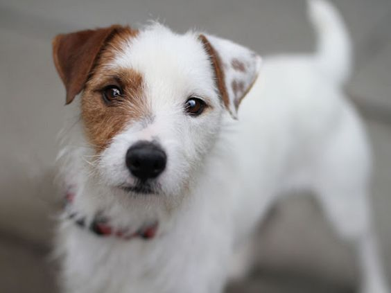 Image result for tan and white jack russell long haired