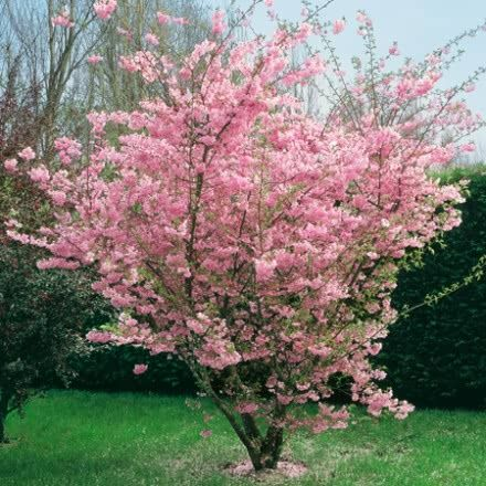 Image Result For Prunus Accolade Small Trees For Garden Flowering Trees Flowering Cherry Tree