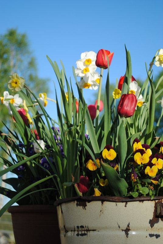 Donice Z Cebulkami Wiosna Fot K Bellingham Plants Bellingham