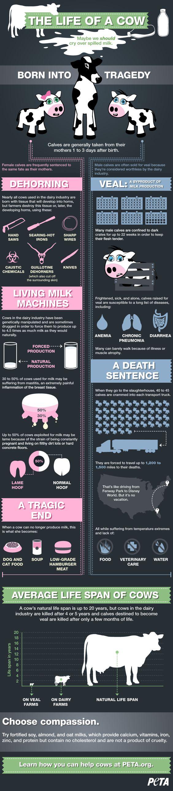 vegan: The Life of A Cow (Infographic) | PETA.org:
