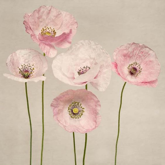 "Poppy Art, Fine Art Flower Photography Print """"Pink Poppies No. 3"""":"