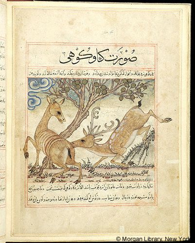 "Two mountain cows, in ""Manāfi˓-i al-ḥayavā"" (""The Benefits of Animals""), fol. 33v, ca. 1297/1300, by Abu Sa'd' Ubayd-Allah ibn Ibrahim, known as Ibn Bakhtishu (d. 1058), Perse, Pierpont Morgan Library MS M.500"