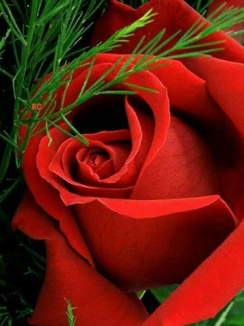 Pin De Maria Heroina Em Bau Rosas Vermelhas Rosas Roxas Rosas
