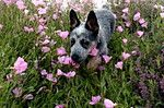 Austrailian Cattle Dog.