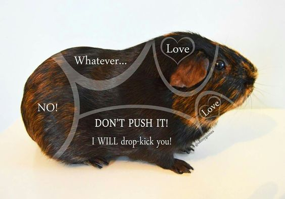 A guide to piggy tickles, as seen on the Guinea Pig Fun Facebook page.