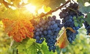 Groupon - Wine and Chocolate Tasting or Vineyard Tour with Tasting for Two or Four at Tolino Vineyards (Up to 50% Off)  in Washington. Groupon deal price: $19