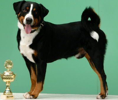 Appenzeller Sennenhund Rare Breed. Not AKC Recognized