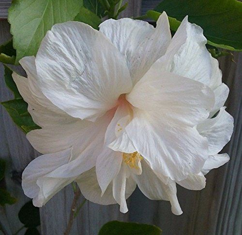 Double White Hibiscus White Hibiscus Showy Flowers Hibiscus Plant