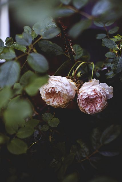 Antique Garden Roses By Tim Robison Flowers Pink