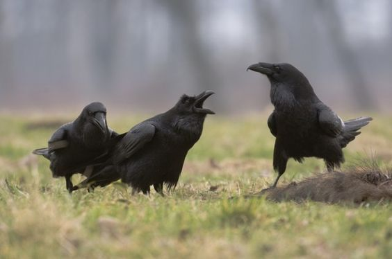 Ravens have social abilities previously only seen in humans. Check it out: http://bit.ly/1vxZcD4:
