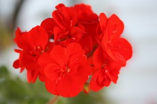 Red Geranium Photo:  This Photo was uploaded by ejrobillard. Find other Red Geranium pictures and photos or upload your own with Photobucket free image a...
