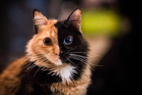 La mirada asimétrica de Quimera #Twofacedcat #quimera #Chimera #Cat #kittyboss…