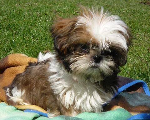 Sweet Baby Shih Tzu Dog Shih Tzu Shih Tzu Puppy