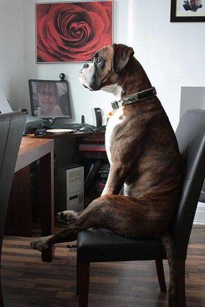 椅子に座るおしゃれでかっこいい犬の壁紙