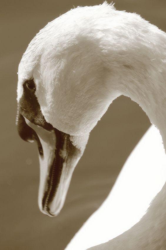Elégance - Cygne portrait: