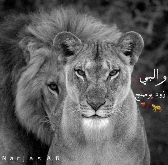 تصميمي رمزيات اسود Lion Family Animals Lion Love