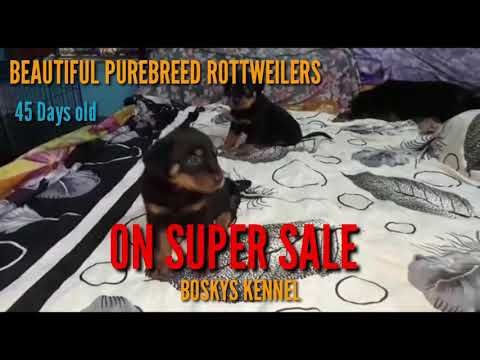 Super Sale Heavy Purebreed Rottweiler Puppies Selling At All Time