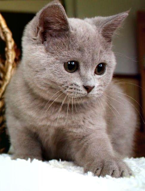 Britisch Kurzhaar Mehr Baby Katzen Britisch Kurzhaar Flauschige Tiere