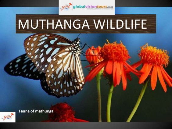Established in 1973, Muthanga Wildlife sanctuary is contiguous to the protected area network of Nagarhole and Bandipur of Karnataka on the northeast and Mudumalai of Tamil Nadu on the southeast.