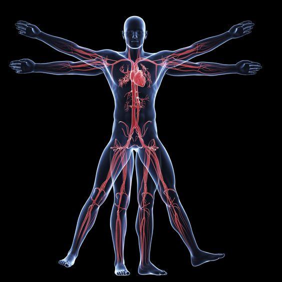 vitruvian man - vascular system: