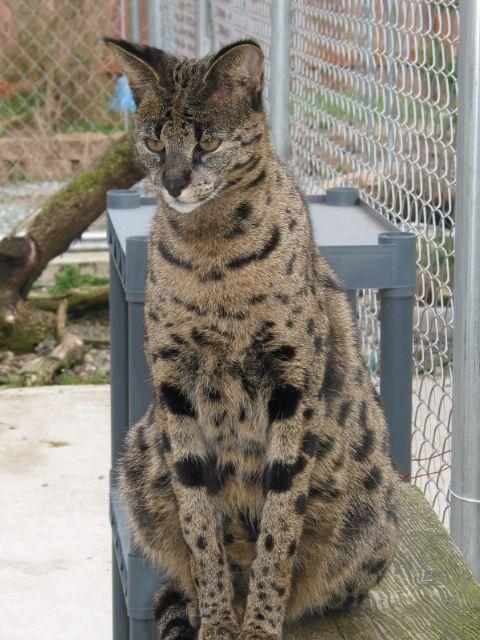 Kenya an F1 Savannah at Wonderful cats