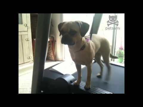 Puggle side-walks on a treadmill without breaking a sweat.