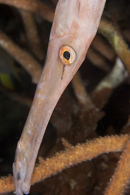 Sleepy head (Aulostomus chinensis) by Arne Kuilman, via Flickr  They sleep head down and like many fish have a different nighttime color to blend into the reef.