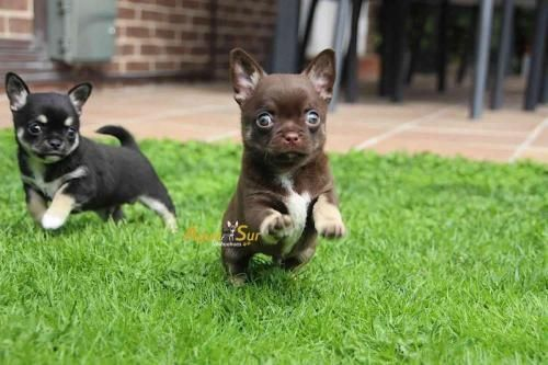 Aguasur Chihuahuas Chocolate Chihuahua Adorable Chihuahua