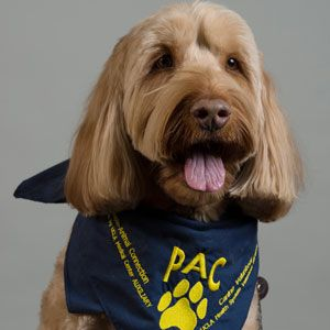 "Meet Redford - UCLA PAC Volunteer. Redford was voted ""Most Handsome Dog"" at the Sherman Oaks Street Fair last year but has not let this honor go to his head!"