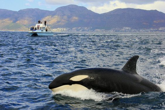 Killer Whales in False Bay, South Africa