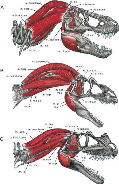 Where Theropods Rippling With Muscle Dinosaur