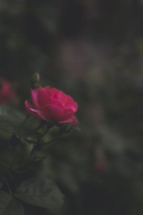 Fresh Pink Rose Wallpaper Hd Download Of Beautiful Rose Pink Rose Wallpaper Hd Rose Wallpaper Iphone Wallpaper