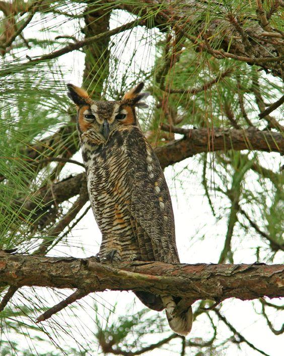 Horned Owl: Island 72 Jpg, Florida Birds, Owl Honeymoon