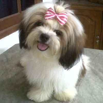 shih tzu puppy... oh baby