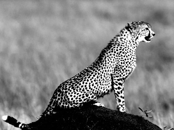 Black And White Jaguar - http://www.0wallpapers.com/2552 ...