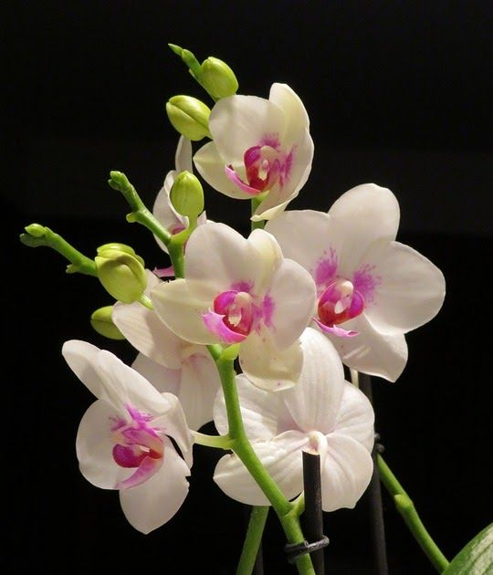 13 Gambar Bunga Orchid Flower Orchid White And Free Photo On Pixabay Download Anggrek Orchidaceae Steemit Download Orchid Angg Di 2020 Bunga Anggrek Bunga Ungu