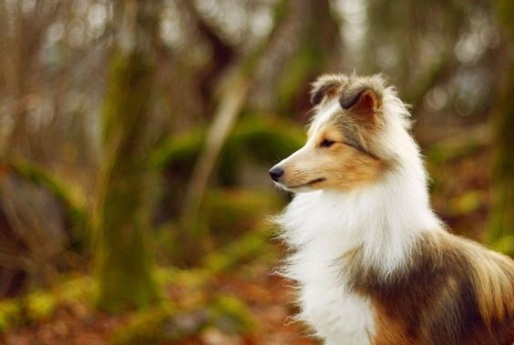The 37 Smartest Dog Breeds: Tier: Brightest Dogs...Shetland Sheepdog (or miniature collie). These are great small dogs...we had one all my childhood years and he was so sweet and loving, a great family dog.