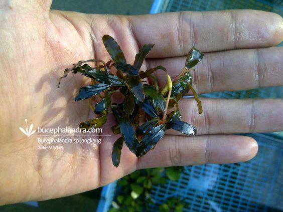 Bucephalandra Jangkang
